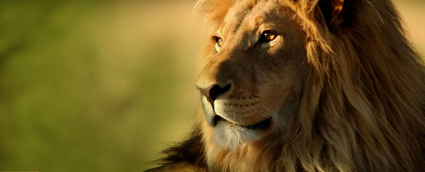 Male lion in African savanna is the king of storytelling